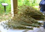 Our harvest of Queen Anne's Lace (which made me ridiculously itchy)
