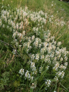 White bugleweed