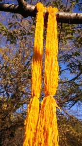 Turmeric-dyed Hog Island Sheep wool, drying in the sun