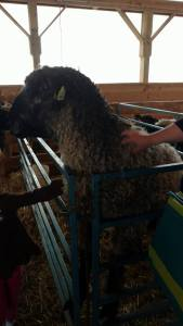 "That's my hand petting the giant sheep, by the way. I'm 5'4"", for reference."