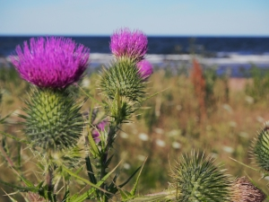 Everyone loves thistles!