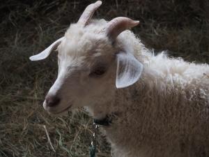 Pygora goat kid